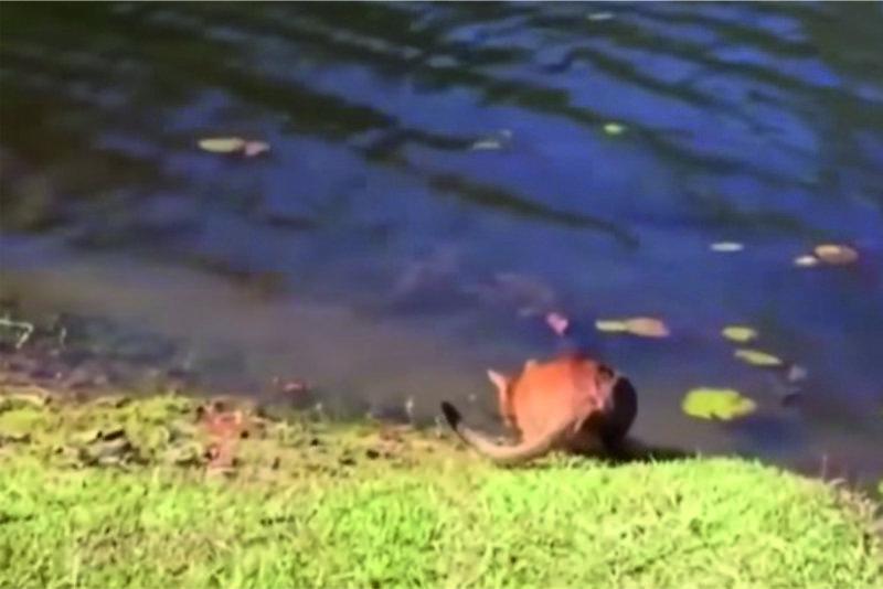 Կատուն ջուր էր խմում լճում, երբ ինչ-որ մեկը իր ետևում փռշտաց: Տեսեք, թե ինչ տեղի ունեցավ հետո (տեսանյութ).