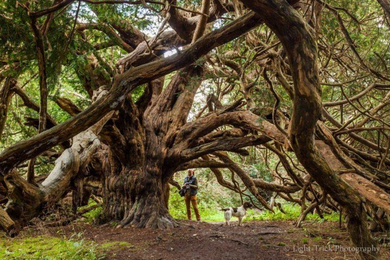 Այս  առեղծվածային ծառերն ավելի հին են , քան եգիպտական բուրգերը  և գաղտնիքներ են պարունակում