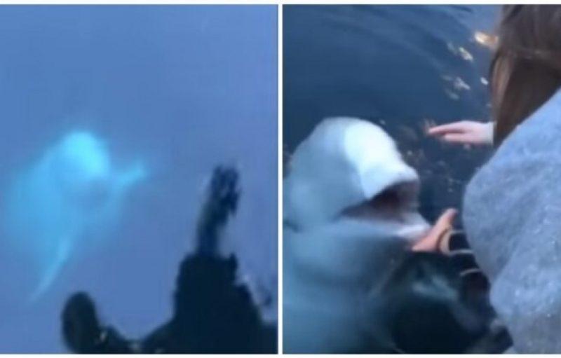 Թե ինչպես սպիտակ կետը աղջկան վերադարձրեց ջուրն ընկած սմարտֆոնը, սա տեսնել է պետք