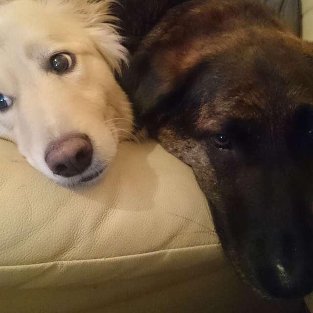 Շունը չի բաժանվում բարձից ՝ իր ընկերոջ մասին հիշողությունն է