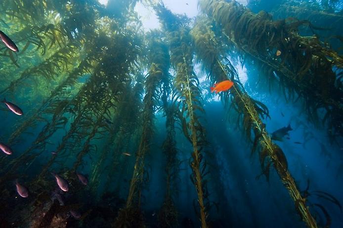 Անդրջրյան անտառներ ջրիմուռներից, շատ հետաքրքիր է