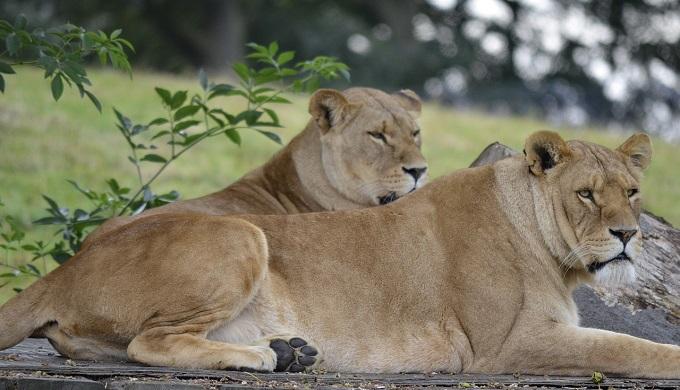 Կինը երկու որբ առյուծների է մեծացրել, սակայն նրանց ստիպված են եղել տալ կենդանաբանական այգի՝ Նրանք հանդիպել են 7 տարի անց…