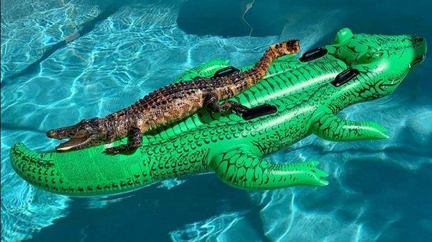Կոկորդիլոսը մտել է լողավազան, լողալու կոկորդիլոսի տեսքով ներքնակի վրա տեղավորվել՝ զավեշտալի լուսանկար