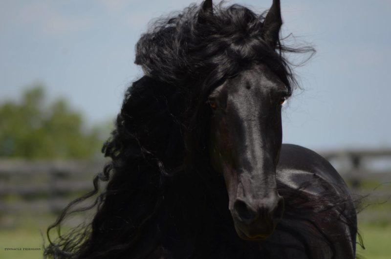 Ֆրիդրիխ Մեծի ձիու գեղեցկությունը նվաճել է համացանցը