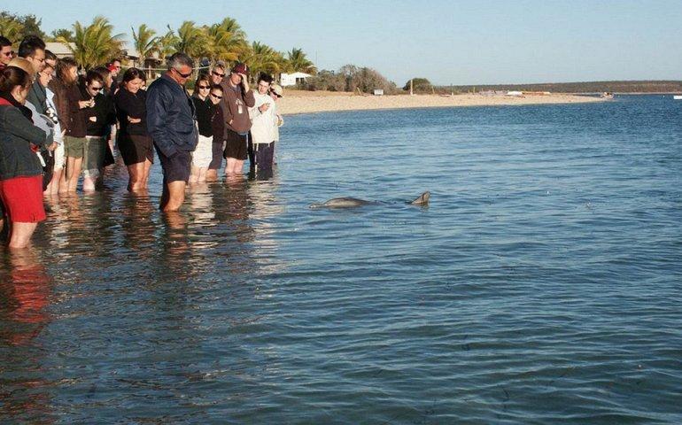 Դելֆինները Ավստրալիայի Մանկի Միա ծովափին. հաճելի է հանգիստը վայելել այս անչափ բարի էակների հետ