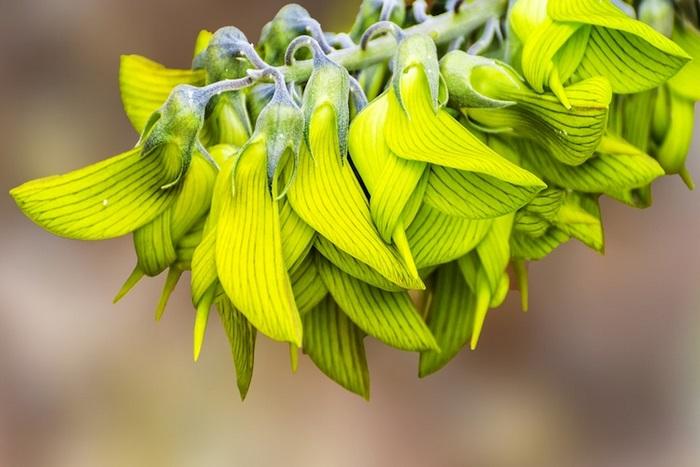 Այս բույսի ծաղիկները նման են կալիբրի թռչունին. զարմանալի է չէ՞