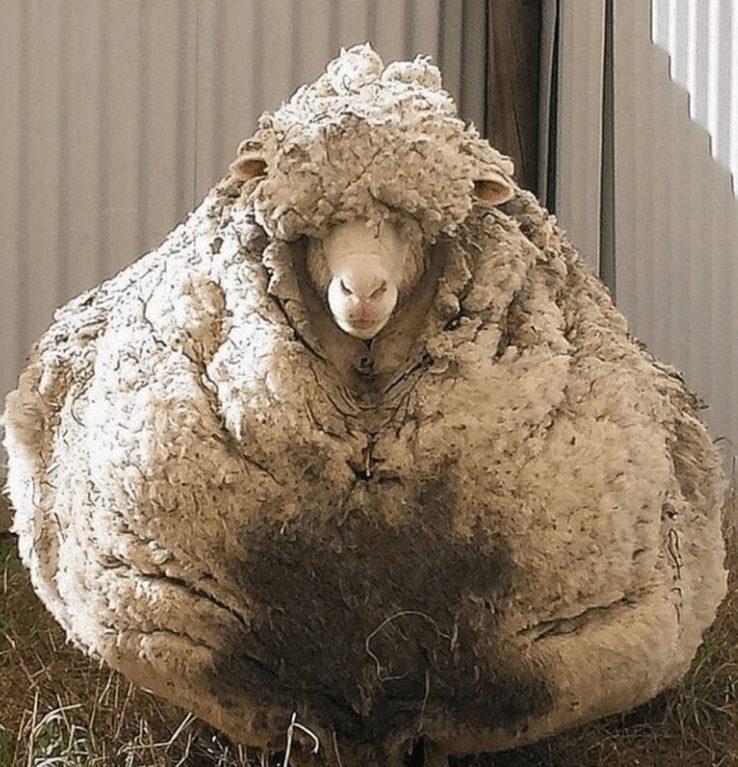Ավստրալիայում բռնել են մի ոչխարի, որը փախել էր իր տերերից և թաքնվել էր 5 տարի