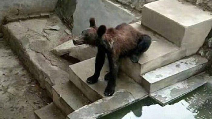 Չինաստանի կենդանաբանական այգի՝ արջը վատ խնամքի պատճառով վերածվել է «քայլող կմախքի»