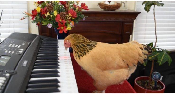 Երբեք չէի պատկերացնի, որ հավը նման երաժշտական ընդունակություններ կունենա