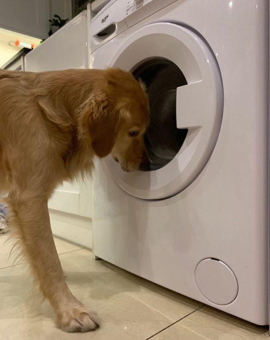 Նայեք, թե ինչ արեց այս շունը, երբ նրա տերը խաղալիքը գցեց լվացքի մեքենայի մեջ