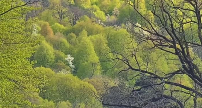 Իրական հրաշք․ խաչի պես ծաղկած ծառ՝ Դիլիջանում