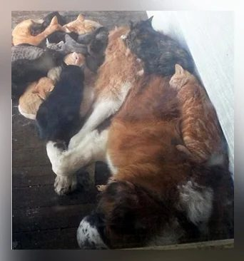 Կատուն ջերմանալու համար զգույշորեն պարկեց մի հսկա շան վրա