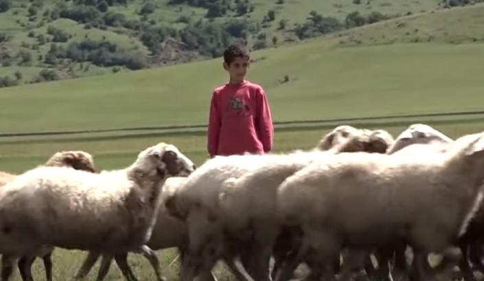 10 տարեկան Վարդաբլուրցի Նորայրը միայնակ արածեցնում է ոչխարներին ու պահում ընտանիքը